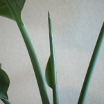 ストレリチア(オーガスタ)新葉が成長!でも割れてるよぅ