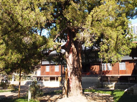 ビャクシンの大木
